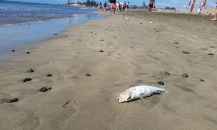 Dead fish washing ashore in Playa del Inglés