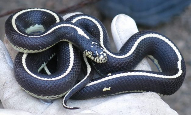 About a thousand King snakes already captured this year on Gran Canaria