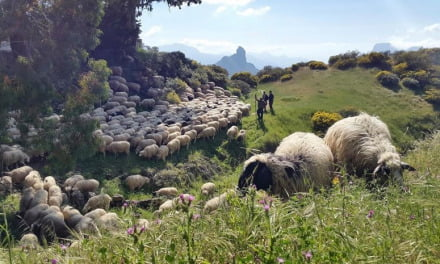 """The Cabildo budgets €1 million for """"firefighter sheep"""" to clear public land and combat forest fires"""