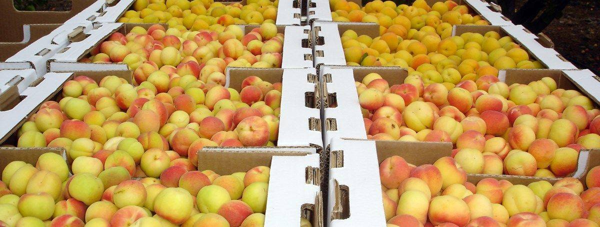 Gran Canaria's southern apricot harvest has been reduced by 70% due to calima and drought