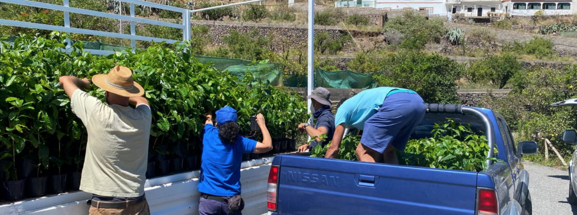 Gran Canaria Cabildo delivers 5,000 coffee trees to increase production of this historic crop in Agaete