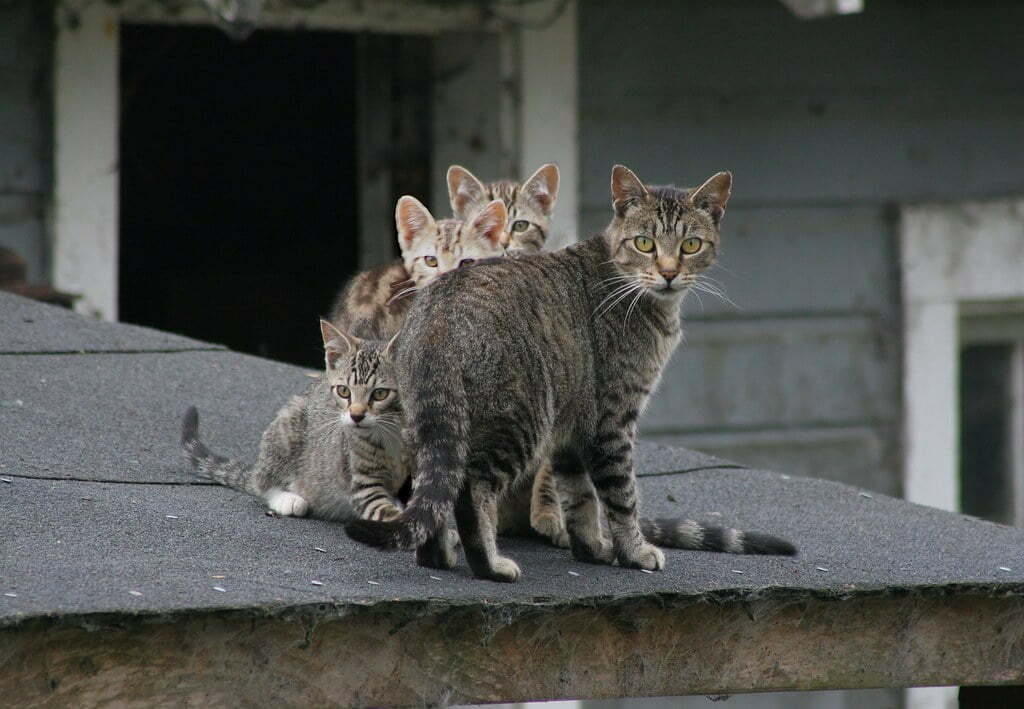 Feral cat hunting is to be included in new Canary Islands Biodiversity Law, Spanish Senator complains