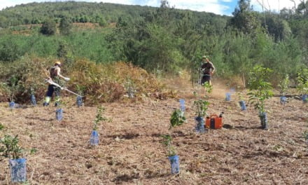 Gran Canaria Cabildo to plant 8000 trees across several zones, recovering forest, and creating green fire-resistant areas
