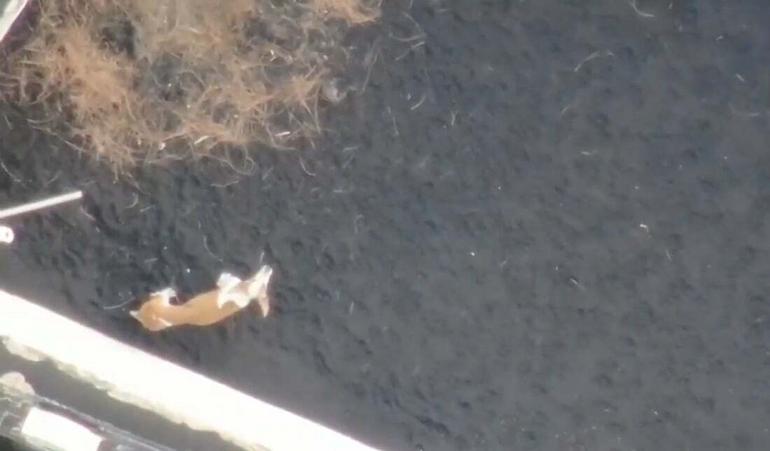 Animals trapped by lava on La Palma farm supplied by drones